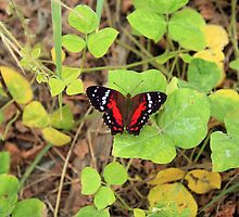 Red and Black Butterfly on a Leaf by rhamm