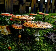 Happy Together ~ Amanita muscaria ~ by Charles & Patricia   Harkins ~ Picture Oregon