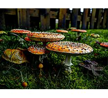 Happy Together ~ Amanita muscaria ~ Photographic Print