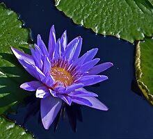 Water Lily - Purple, green leaf by cclaude