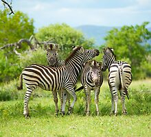 Four Zebra, South Africa by Shannon Benson