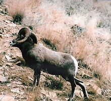 Big Horn Sheep by valleygirl