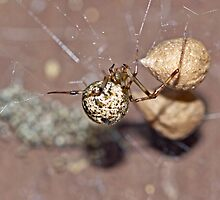 Common House Spider - Parasteatoda tepidariorum by MotherNature
