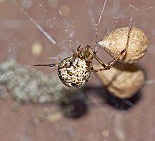Common House Spider - Parasteatoda tepidariorum by MotherNature