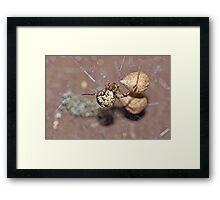 Common House Spider - Parasteatoda tepidariorum Framed Print
