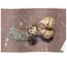 Common House Spider - Parasteatoda tepidariorum Poster