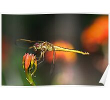 Golden-winged Dragonfly (Female) Poster