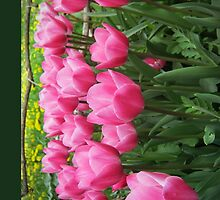 pink tulip-crowd by NafetsNuarb