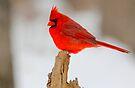Male Cardinal  by NatureGreeting Cards ©ccwri