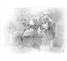 Iced Hydrangea In Light And Shadow - Black and White Poster