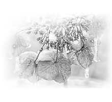 Iced Hydrangea In Light And Shadow - Black and White Photographic Print