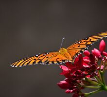 Gulf Fritillary on flower by bman48
