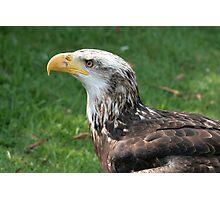 Female Immature Bald Eagle Photographic Print