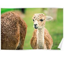 Baby Alpaca, also called Cria  Poster