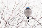 Scrub-Jay in the snow by Eivor Kuchta