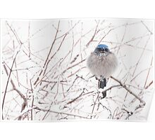 Scrub-Jay in the snow Poster