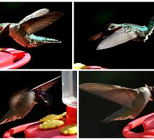 COLLAGE OF  YOUNG MALE HUMMINGBRID ANNA'S by JAYMILO