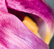 Fading Tulip by Anne Gilbert