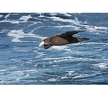 Northern Giant Petrel Photographic Print