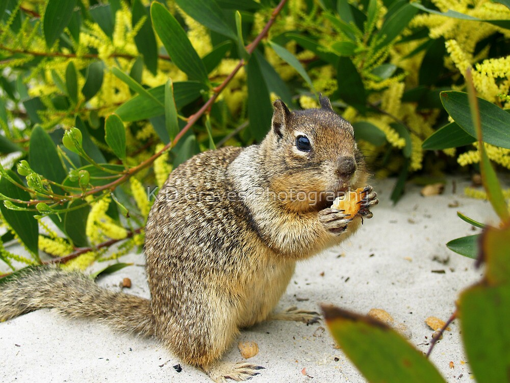 Squirrel at Carmel Beach, California by Diana Graves Photography