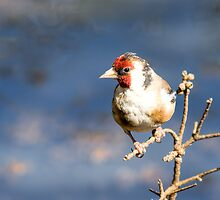 Goldfinch by John Sharp