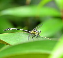Dragonfly by Belinda Richardson