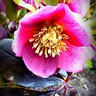 Christmas Rose by ©The Creative  Minds