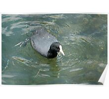American Coot on Lake Cuicocha Poster