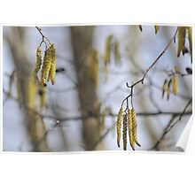 """"""" Catkins In The Midday Sun """" Poster"""