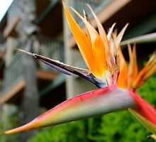 Bird of Paradise by LisaThomasPhoto