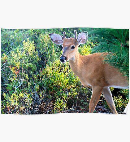 Young Buck at Sunset Poster