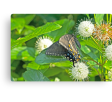 Tiger Swallowtail Butterfly On Buttonbush - Dark Phase - Papilio glaucus Canvas Print