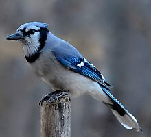 Bluejay Handle upright by Rae Ann M. Garrett