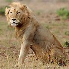 OBSERVING -  THE LION – Panthera leo - LEEU by Magriet Meintjes
