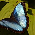 Morpho in the Spring by Kate Farkas