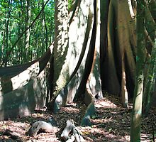The Magnificent Strangler Fig by john NORRIS