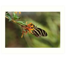 Zebra Longwing Butterfly (Heliconius charitonius) Art Print