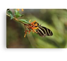 Zebra Longwing Butterfly (Heliconius charitonius) Canvas Print