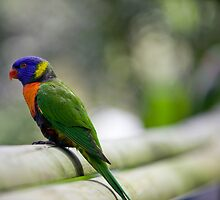 lorikeet lane By Ken Killeen by KenKilleen