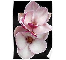 tulip magnolia twins (black bg) Poster