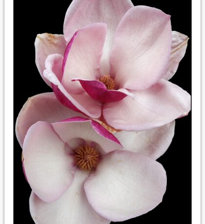 tulip magnolia twins (black bg) Sticker