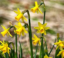 Clump of golden daffodils by Violaman