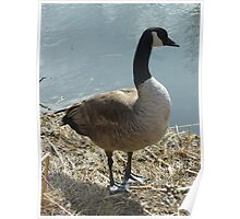 Canada Goose on a Lakeshore Poster