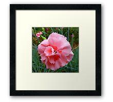 The Rain Soaked Carnation Framed Print
