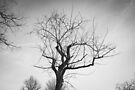 Monochrome Tree in Bridgewater Virginia by Dfeivor