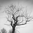 Monochrome Tree in Bridgewater Virginia by Dfeivor