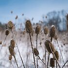 Spiky Things in Snowy Field by Dfeivor