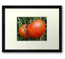 Red Ripe Tomatoes Framed Print