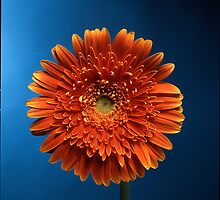 orange gerbera  by damil