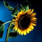 Sunflower on deep blue background by damil